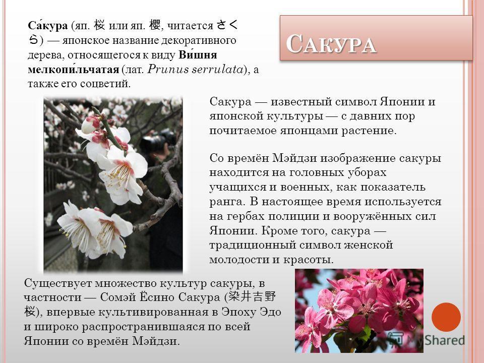С АКУРА САКУРА Сакура (яп. или яп., читается ) японское название декоративного дерева, относящегося к виду Вишня мелкопильчатая (лат. Prunus serrulata ), а также его соцветий. Существует множество культур сакуры, в частности Сомэй Ёсино Сакура ( ), в