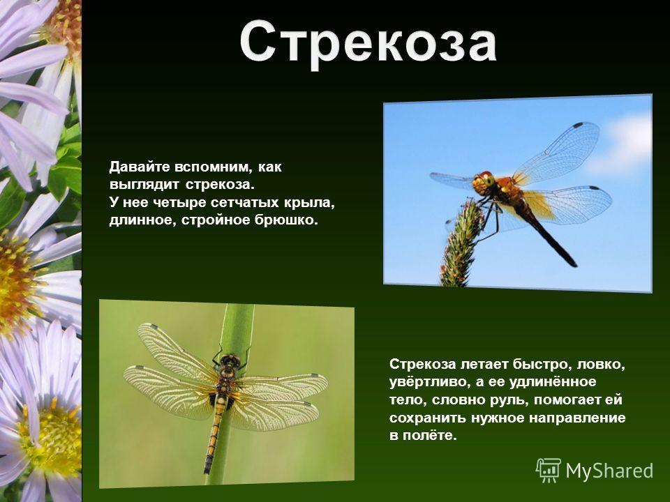 Давайте вспомним, как выглядит стрекоза. У нее четыре сетчатых крыла, длинное, стройное брюшко. Стрекоза летает быстро, ловко, увёртливо, а ее удлинённое тело, словно руль, помогает ей сохранить нужное направление в полёте.