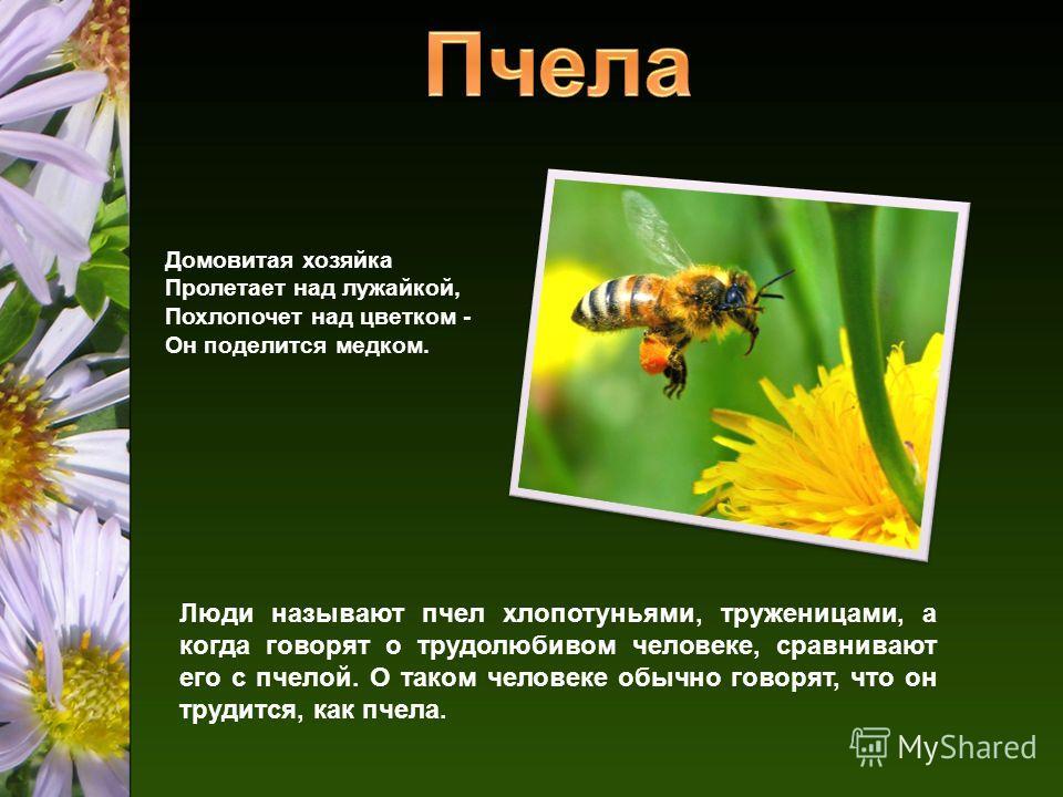 Домовитая хозяйка Пролетает над лужайкой, Похлопочет над цветком - Он поделится медком. Люди называют пчел хлопотуньями, труженицами, а когда говорят о трудолюбивом человеке, сравнивают его с пчелой. О таком человеке обычно говорят, что он трудится,