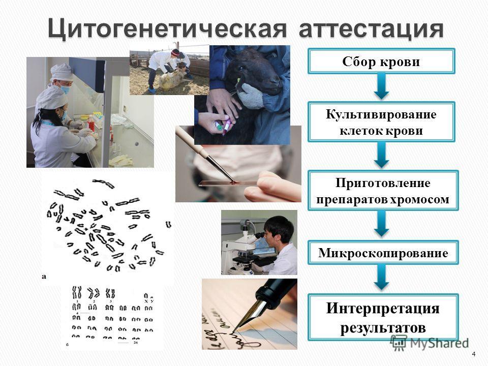 4 Сбор крови Культивирование клеток крови Приготовление препаратов хромосом Микроскопирование Интерпретация результатов