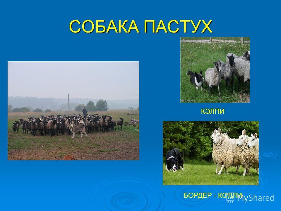 СОБАКА ПАСТУХ КЭЛПИ БОРДЕР - КОЛЛИ