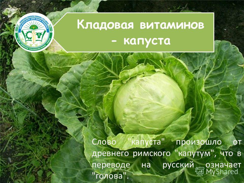 Кладовая витаминов - капуста Слово капуста произошло от древнего римского капутум, что в переводе на русский означает голова.