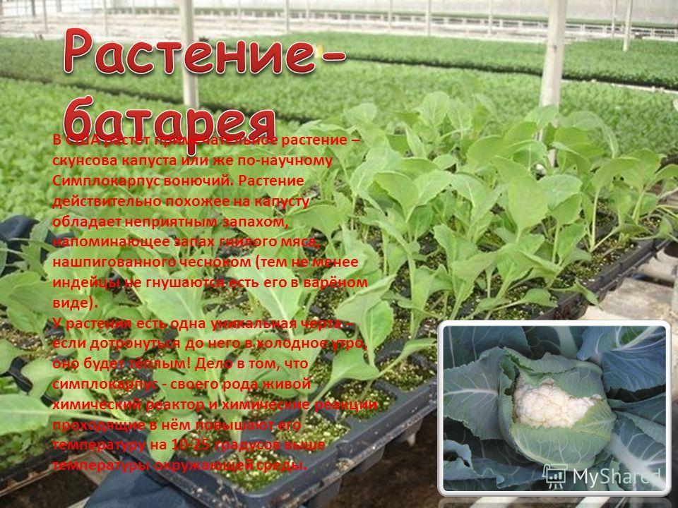 17 В США растёт примечательное растение – скунсова капуста или же по-научному Симплокарпус вонючий. Растение действительно похожее на капусту обладает неприятным запахом, напоминающее запах гнилого мяса, нашпигованного чесноком (тем не менее индейцы