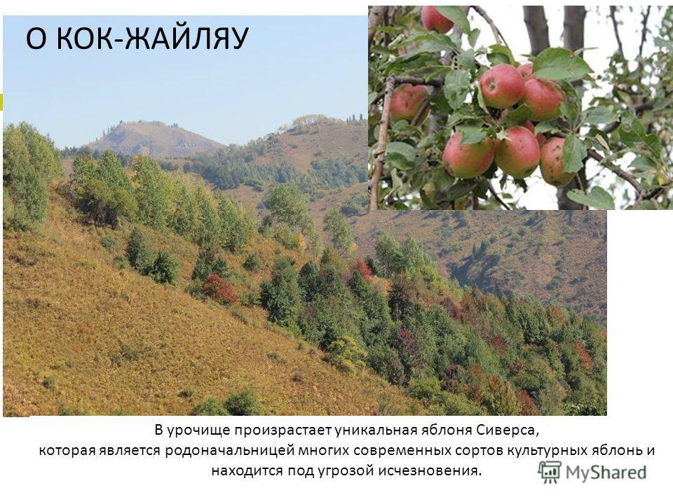 В урочище произрастает уникальная яблоня Сиверса, которая является родоначальницей многих современных сортов культурных яблонь и находится под угрозой исчезновения. О КОК-ЖАЙЛЯУ