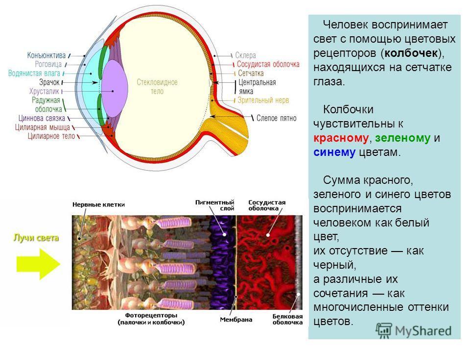 Человек воспринимает свет с помощью цветовых рецепторов (колбочек), находящихся на сетчатке глаза. Колбочки чувствительны к красному, зеленому и синему цветам. Сумма красного, зеленого и синего цветов воспринимается человеком как белый цвет, их отсут