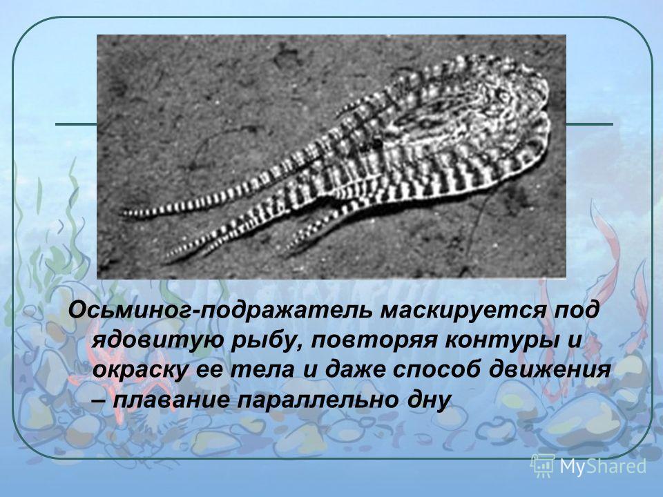 Осьминог-подражатель маскируется под ядовитую рыбу, повторяя контуры и окраску ее тела и даже способ движения – плавание параллельно дну