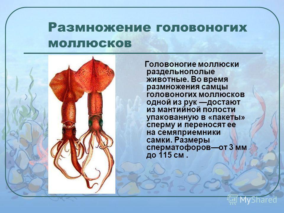 Размножение головоногих моллюсков Головоногие моллюски раздельнополые животные. Во время размножения самцы головоногих моллюсков одной из рук достают из мантийной полости упакованную в «пакеты» сперму и переносят ее на семяприемники самки. Размеры сп