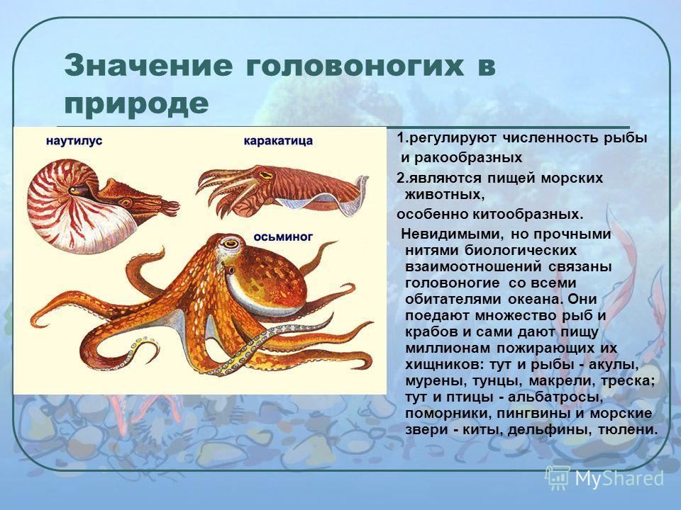 Значение головоногих в природе 1. регулируют численность рыбы и ракообразных 2. являются пищей морских животных, особенно китообразных. Невидимыми, но прочными нитями биологических взаимоотношений связаны головоногие со всеми обитателями океана. Они