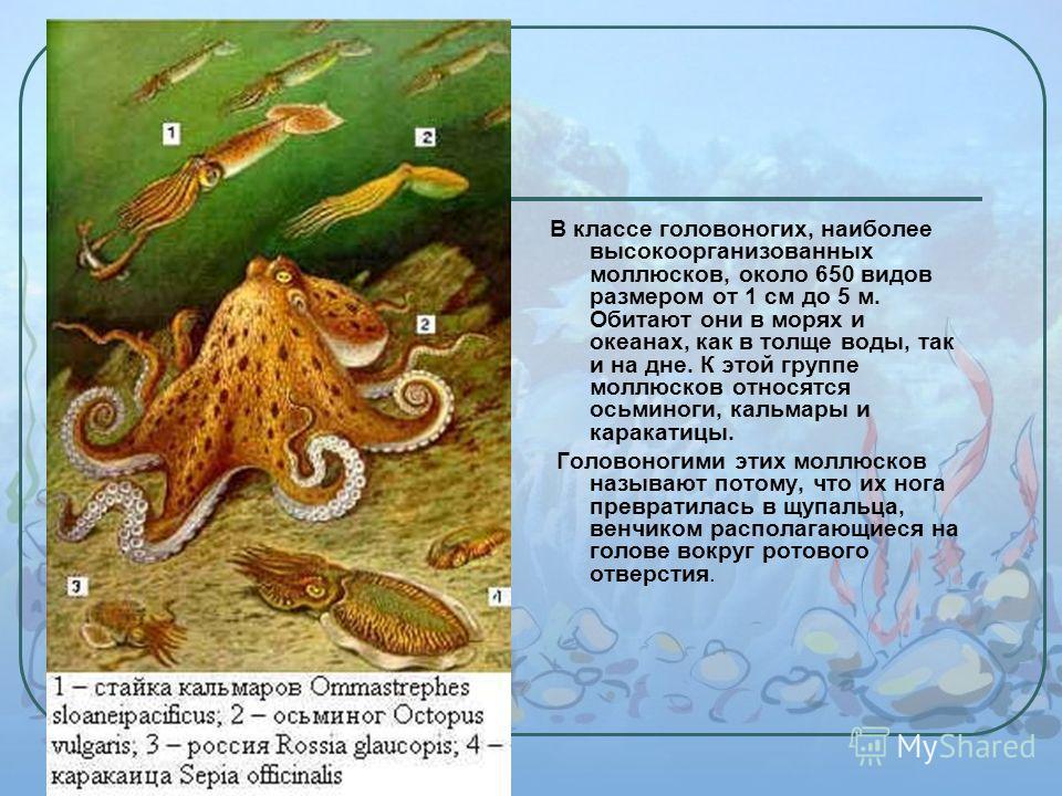 В классе головоногих, наиболее высокоорганизованных моллюсков, около 650 видов размером от 1 см до 5 м. Обитают они в морях и океанах, как в толще воды, так и на дне. К этой группе моллюсков относятся осьминоги, кальмары и каракатицы. Головоногими эт