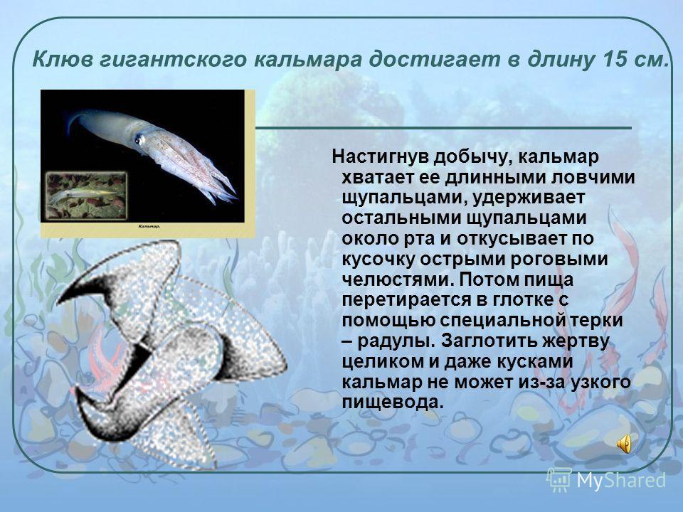 Настигнув добычу, кальмар хватает ее длинными ловчими щупальцами, удерживает остальными щупальцами около рта и откусывает по кусочку острыми роговыми челюстями. Потом пища перетирается в глотке с помощью специальной терки – радулы. Заглотить жертву ц