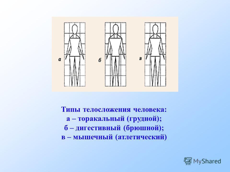 Типы телосложения человека: а – торакальный (грудной); б – дигестивный (брюшной); в – мышечный (атлетический)
