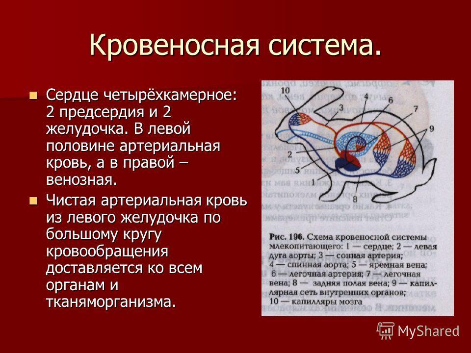 Кровеносная система. Сердце четырёхкамерное: 2 предсердия и 2 желудочка. В левой половине артериальная кровь, а в правой – венозная. Чистая артериальная кровь из левого желудочка по большому кругу кровообращения доставляется ко всем органам и тканямо