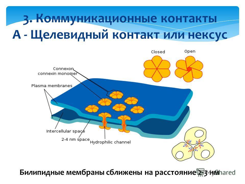3. Коммуникационные контакты А - Щелевидный контакт или нексус Билипидные мембраны сближены на расстояние 2-3 нм