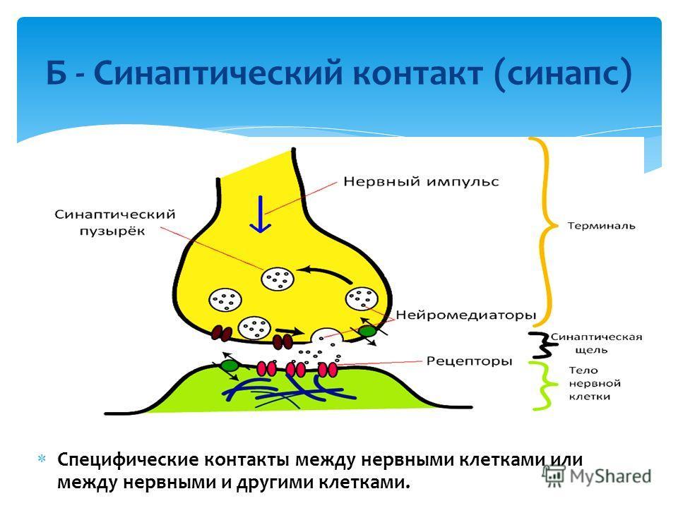 Б - Синаптический контакт (синапс) Специфические контакты между нервными клетками или между нервными и другими клетками.