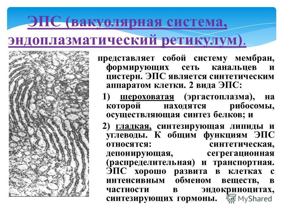 представляет собой систему мембран, формирующих сеть канальцев и цистерн. ЭПС является синтетическим аппаратом клетки. 2 вида ЭПС: 1) шероховатая (эргастоплазма), на которой находятся рибосомы, осуществляющая синтез белков; и 2) гладкая, синтезирующа
