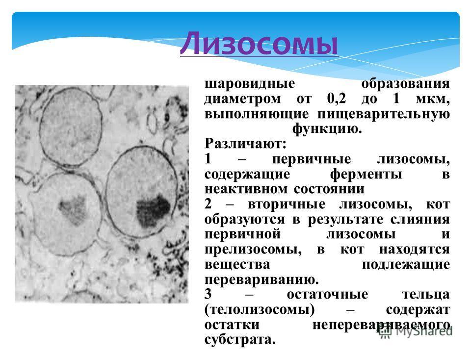 Лизосомы шаровидные образования диаметром от 0,2 до 1 мкм, выполняющие пищеварительную функцию. Различают: 1 – первичные лизосомы, содержащие ферменты в неактивном состоянии 2 – вторичные лизосомы, кот образуются в результате слияния первичной лизосо
