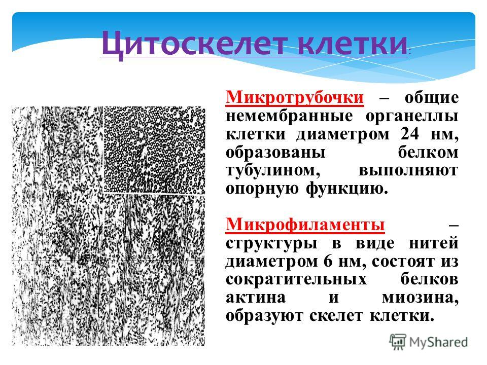 Цитоскелет клетки : Микротрубочки – общие немембранные органеллы клетки диаметром 24 нм, образованы белком тубулином, выполняют опорную функцию. Микрофиламенты – структуры в виде нитей диаметром 6 нм, состоят из сократительных белков актина и миозина