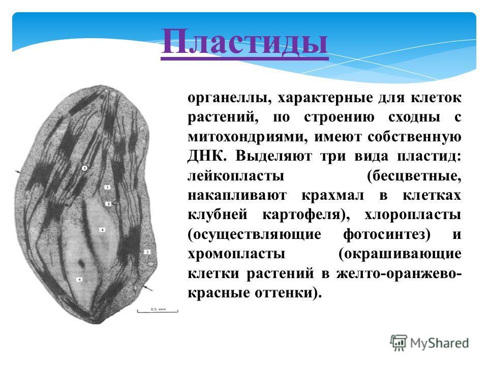 Пластиды органеллы, характерные для клеток растений, по строению сходны с митохондриями, имеют собственную ДНК. Выделяют три вида пластид: лейкопласты (бесцветные, накапливают крахмал в клетках клубней картофеля), хлоропласты (осуществляющие фотосинт