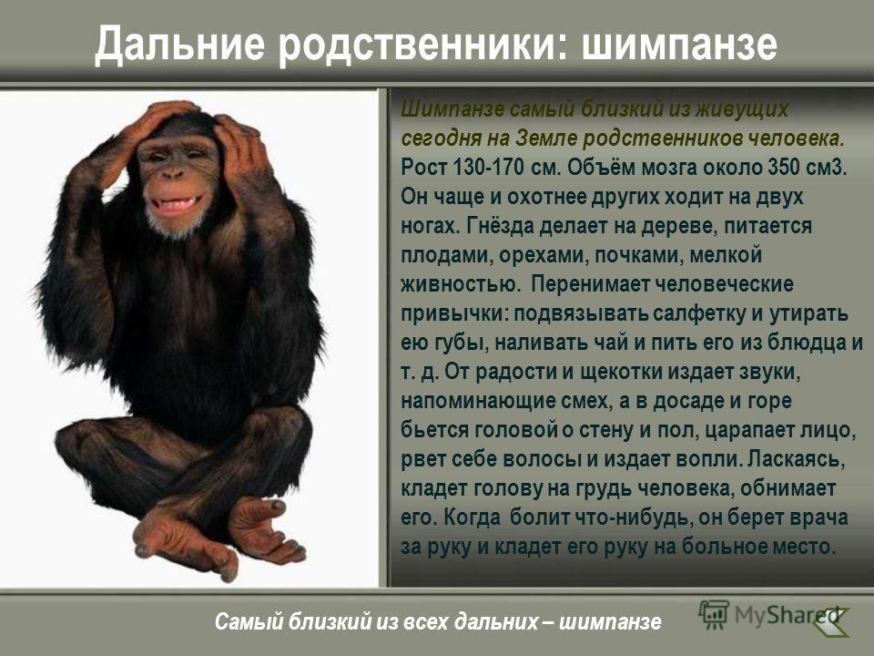 Дальние родственники: шимпанзе Шимпанзе самый близкий из живущих сегодня на Земле родственников человека. Рост 130-170 см. Объём мозга около 350 см 3. Он чаще и охотнее других ходит на двух ногах. Гнёзда делает на дереве, питается плодами, орехами, п
