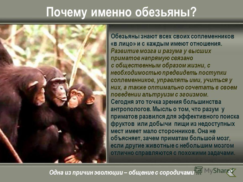 Почему именно обезьяны? Обезьяны знают всех своих соплеменников «в лицо» и с каждым имеют отношения. Развитие мозга и разума у высших приматов напрямую связано с общественным образом жизни, с необходимостью предвидеть поступки соплеменников, управлят