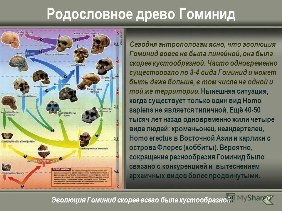 Родословное древо Гоминид Сегодня антропологам ясно, что эволюция Гоминид вовсе не была линейной, она была скорее кустообразной. Часто одновременно существовало по 3-4 вида Гоминид и может быть даже больше, в том числе на одной и той же территории. Н