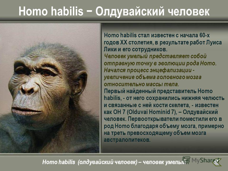 Homo habilis Олдувайский человек Homo habilis стал известен с начала 60-х годов ХХ столетия, в результате работ Луиса Лики и его сотрудников. Человек умелый представляет собой отправную точку в эволюции рода Homo. Начался процесс энцефализации - увел