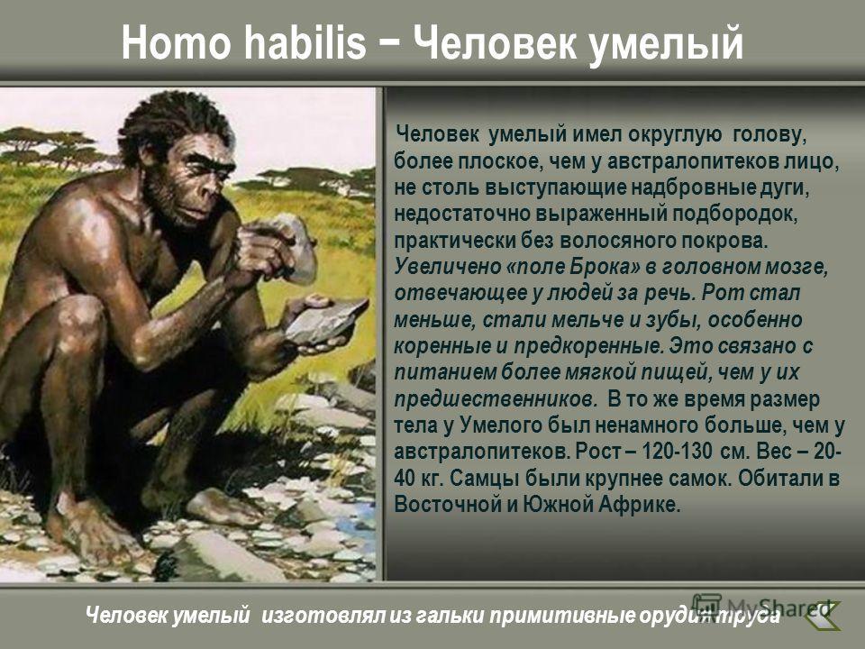 Homo habilis Человек умелый Человек умелый имел округлую голову, более плоское, чем у австралопитеков лицо, не столь выступающие надбровные дуги, недостаточно выраженный подбородок, практически без волосяного покрова. Увеличено «поле Брока» в головно