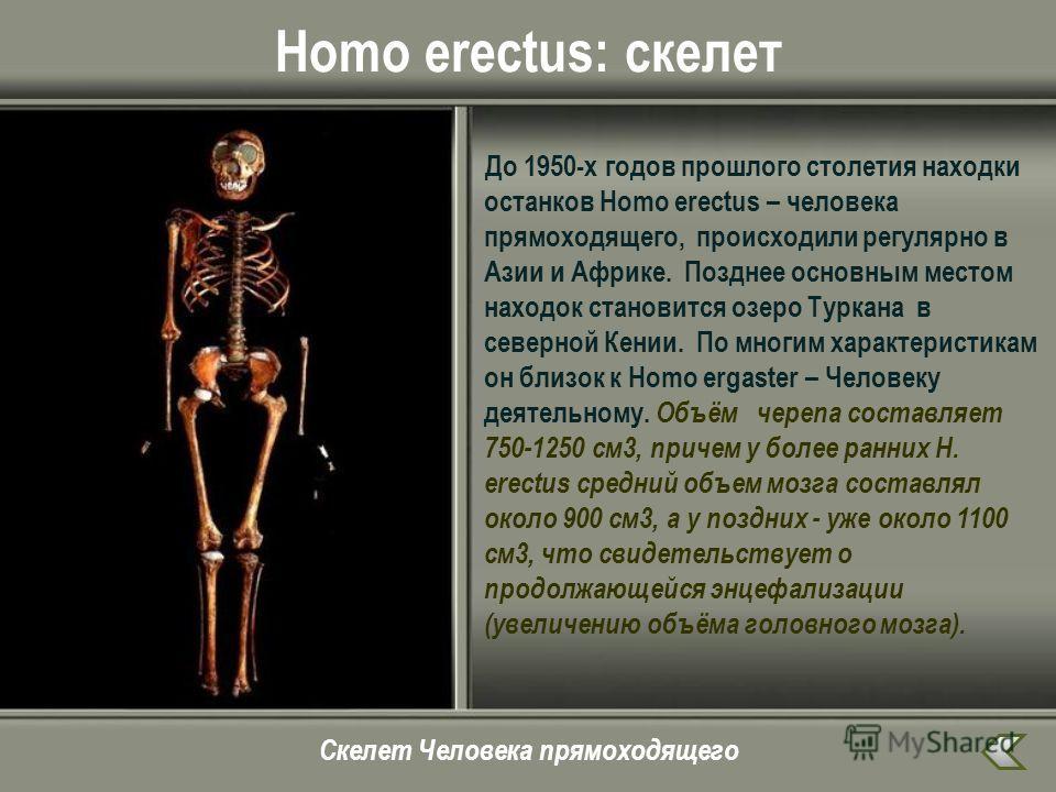 Homo erectus: скелет До 1950-х годов прошлого столетия находки останков Homo erectus – человека прямоходящего, происходили регулярно в Азии и Африке. Позднее основным местом находок становится озеро Туркана в северной Кении. По многим характеристикам