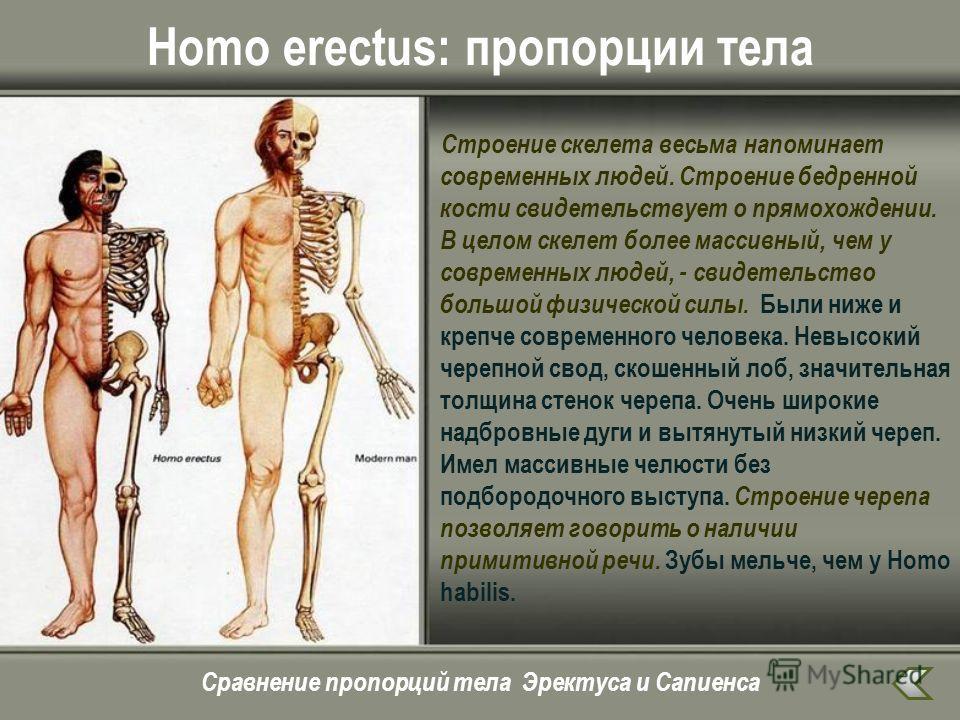 Homo erectus: пропорции тела Строение скелета весьма напоминает современных людей. Строение бедренной кости свидетельствует о прямохождении. В целом скелет более массивный, чем у современных людей, - свидетельство большой физической силы. Были ниже и