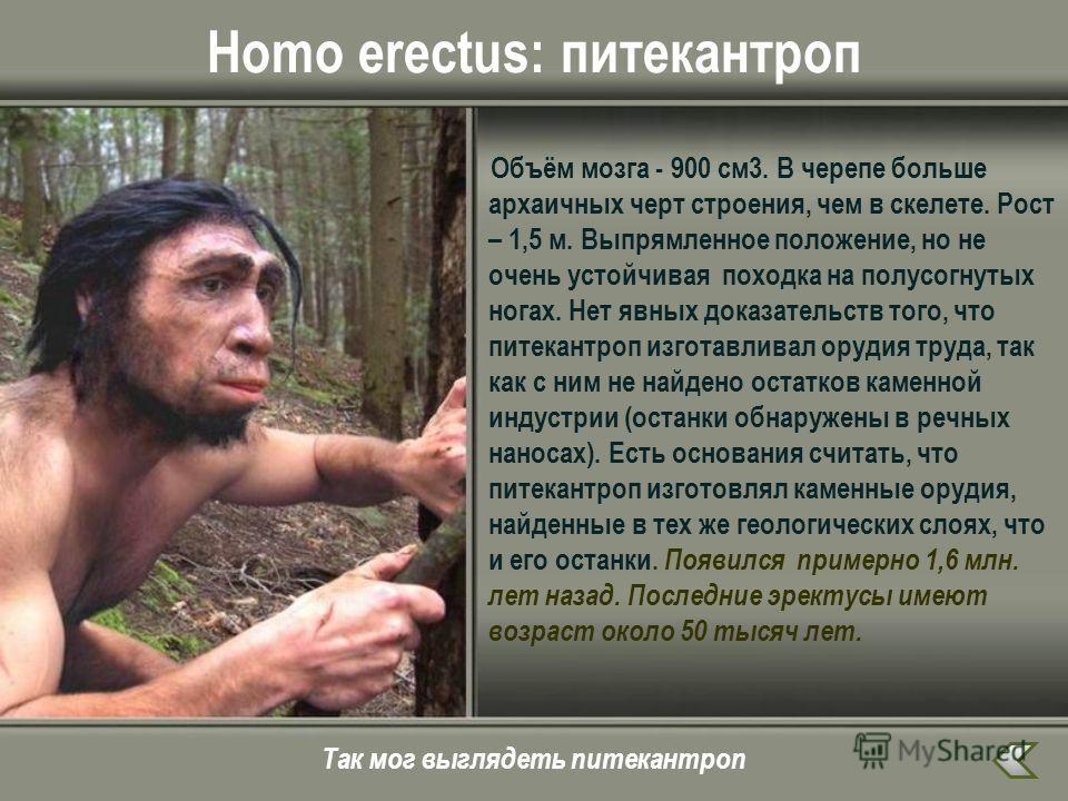 Homo erectus: питекантроп Объём мозга - 900 см 3. В черепе больше архаичных черт строения, чем в скелете. Рост – 1,5 м. Выпрямленное положение, но не очень устойчивая походка на полусогнутых ногах. Нет явных доказательств того, что питекантроп изгота