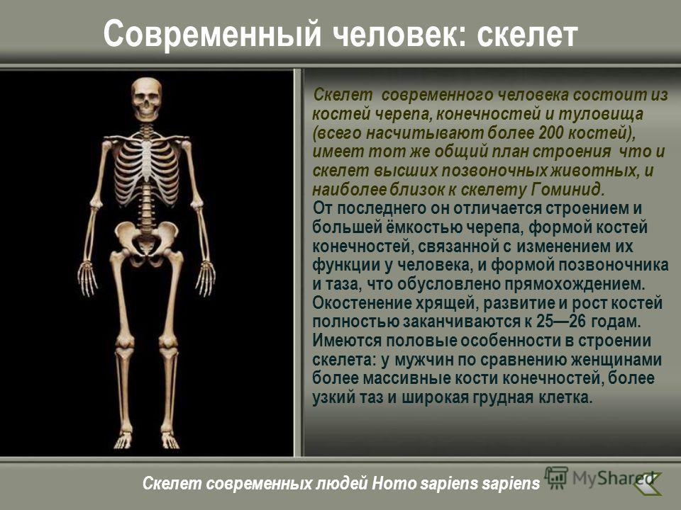 Современный человек: скелет Скелет современного человека состоит из костей черепа, конечностей и туловища (всего насчитывают более 200 костей), имеет тот же общий план строения что и скелет высших позвоночных животных, и наиболее близок к скелету Гом
