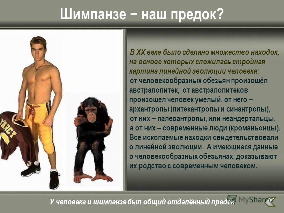 Шимпанзе наш предок? В ХХ веке было сделано множество находок, на основе которых сложилась стройная картина линейной эволюции человека: от человекообразных обезьян произошёл австралопитек, от австралопитеков произошел человек умелый, от него – архант