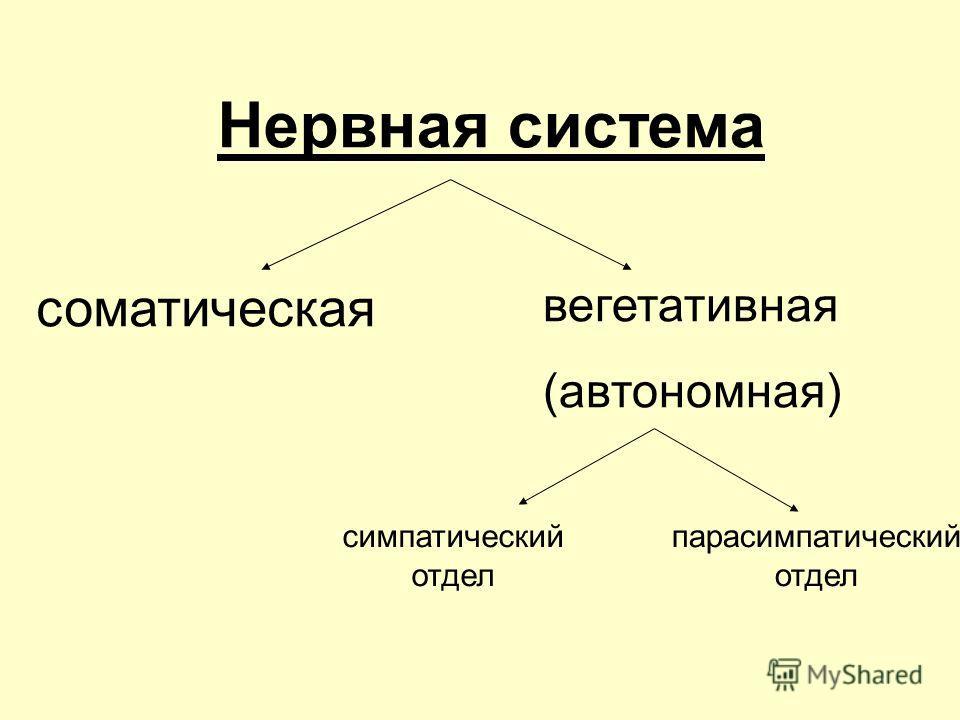 Нервная система соматическая вегетативная (автономная) симпатический отдел парасимпатический отдел