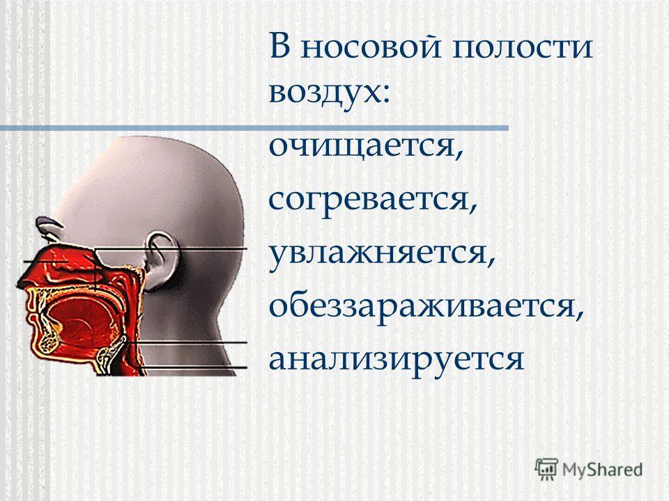 В носовой полости воздух: очищается, согревается, увлажняется, обеззараживается, анализируется