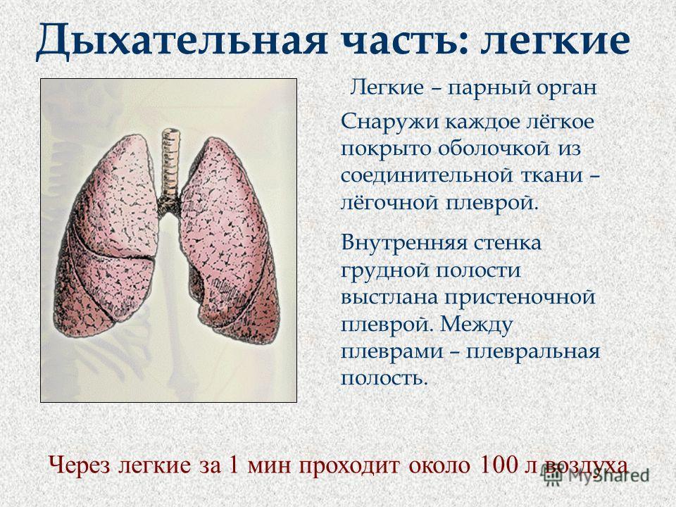 Дыхательная часть: легкие Снаружи каждое лёгкое покрыто оболочкой из соединительной ткани – лёгочной плеврой. Внутренняя стенка грудной полости выстлана пристеночной плеврой. Между плеврами – плевральная полость. Легкие – парный орган Через легкие за