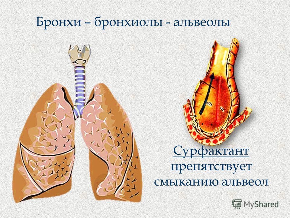 Бронхи – бронхиолы - альвеолы Сурфактант препятствует смыканию альвеол