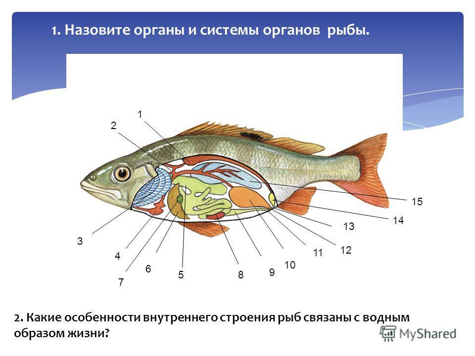 1. Назовите органы и системы органов рыбы. 1 2 3 4 5 6 7 8 9 10 11 13 12 14 15 2. Какие особенности внутреннего строения рыб связаны с водным образом жизни?