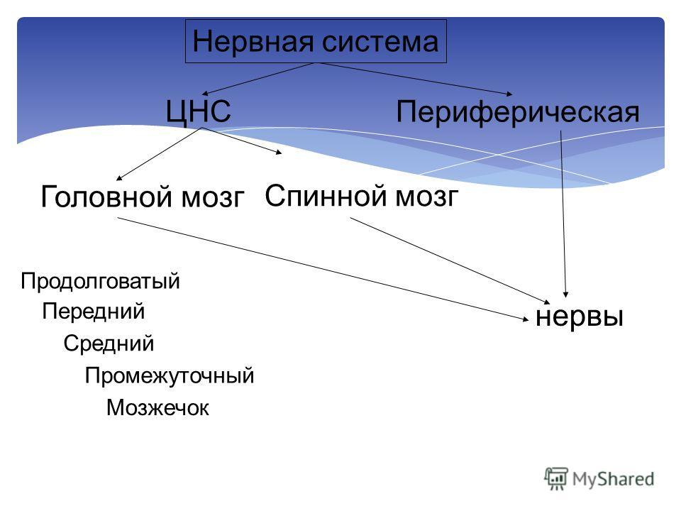 ЦНСПериферическая нервы Головной мозг Спинной мозг Продолговатый Передний Средний Промежуточный Мозжечок