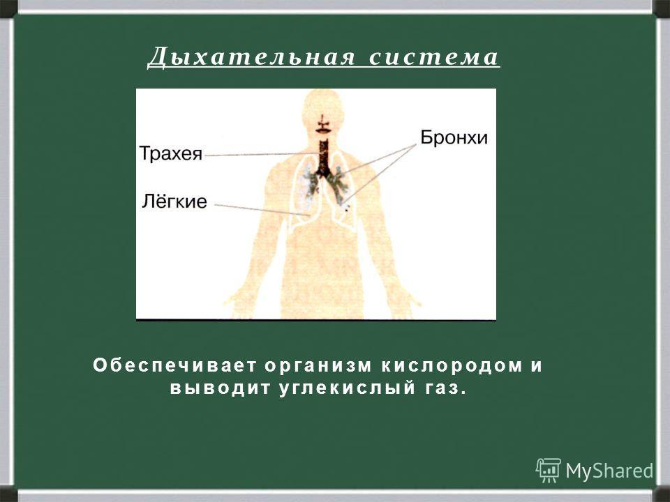 Дыхательная система Обеспечивает организм кислородом и выводит углекислый газ.