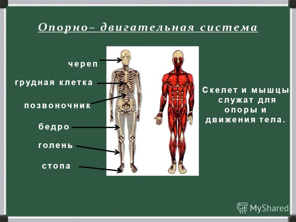 Опорно– двигательная система Скелет и мышцы служат для опоры и движения тела. череп грудная клетка позвоночник бедро голень стопа