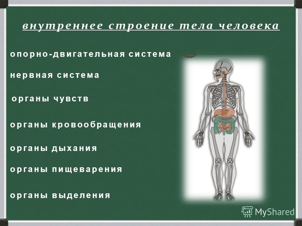Человек. Строение тела человека. внешнее внутреннее внутреннее строение тела человека органы пищеварения органы дыхания органы кровообращения органы чувств нервная система органы выделения опорно-двигательная система