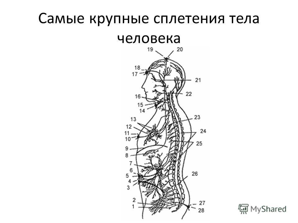 Самые крупные сплетения тела человека