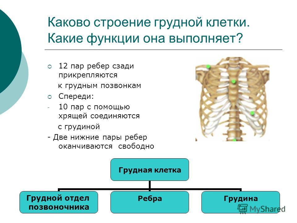 Каково строение грудной клетки. Какие функции она выполняет? 12 пар ребер сзади прикрепляются к грудным позвонкам Спереди: - 10 пар с помощью хрящей соединяются с грудиной - Две нижние пары ребер оканчиваются свободно Грудная клетка Грудной отдел поз