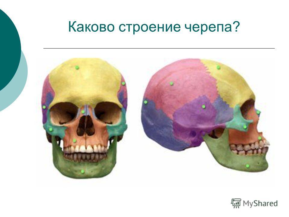 Каково строение черепа?