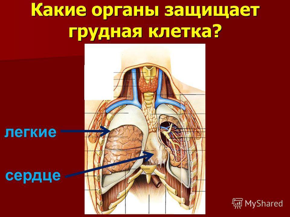 Какие органы защищает грудная клетка? легкие сердце