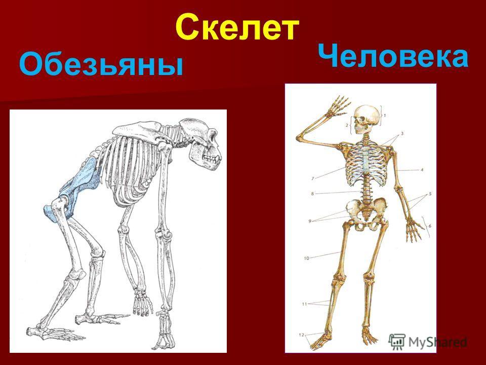 Скелет Обезьяны Человека