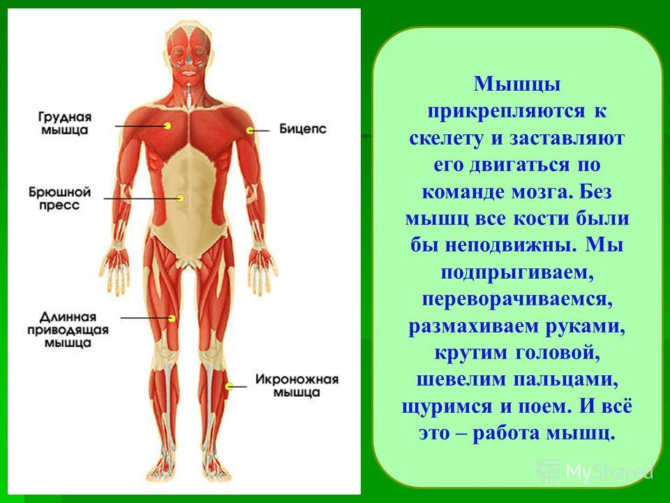 Мышцы прикрепляются к скелету и заставляют его двигаться по команде мозга. Без мышц все кости были бы неподвижны. Мы подпрыгиваем, переворачиваемся, размахиваем руками, крутим головой, шевелим пальцами, щуримся и поем. И всё это – работа мышц.