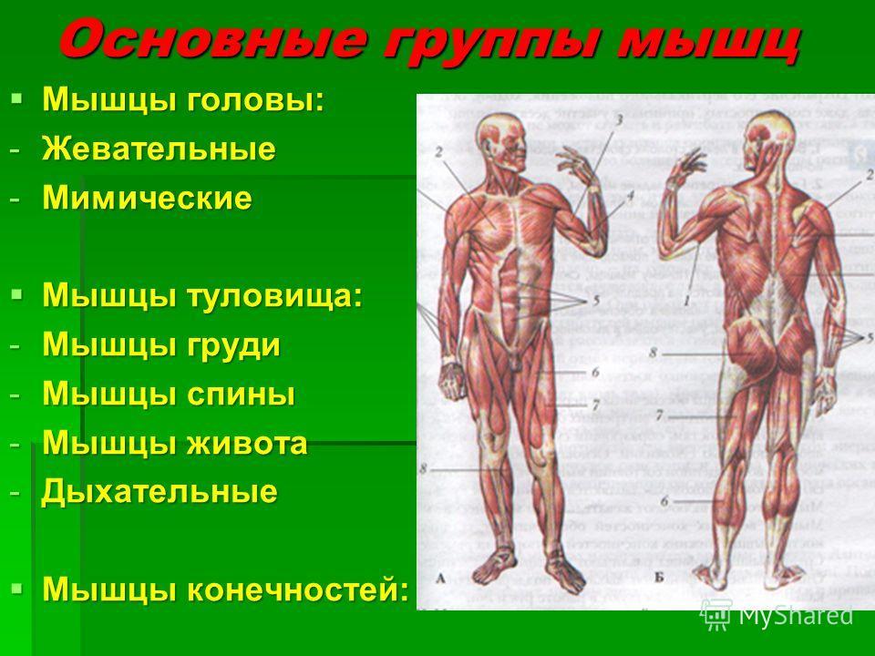 Основные группы мышц Мышцы головы: Мышцы головы: -Жевательные -Мимические Мышцы туловища: Мышцы туловища: -Мышцы груди -Мышцы спины -Мышцы живота -Дыхательные Мышцы конечностей: Мышцы конечностей: