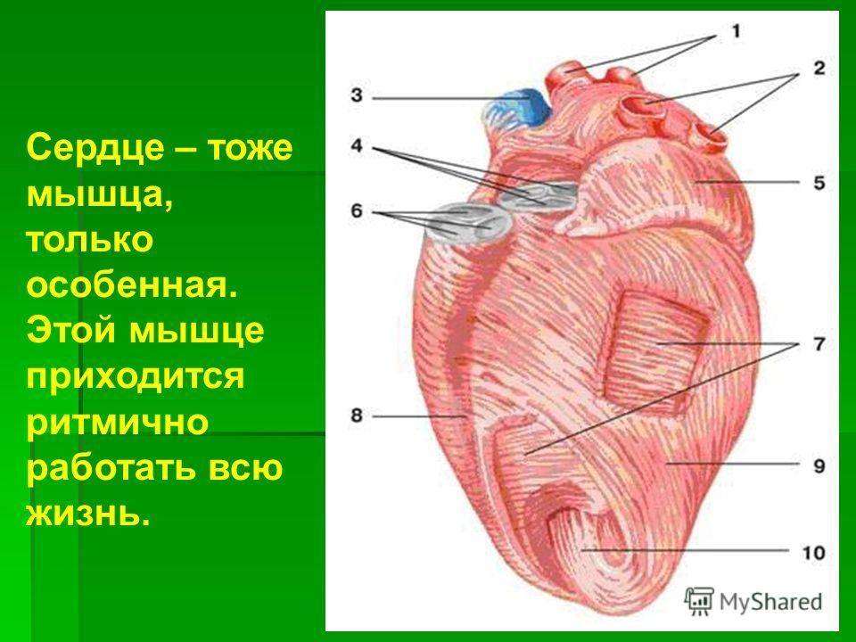 Сердце – тоже мышца, только особенная. Этой мышце приходится ритмично работать всю жизнь.