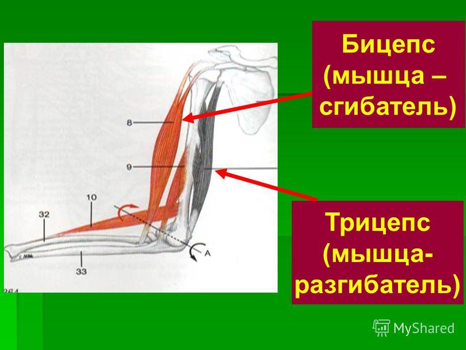 Бицепс (мышца – сгибатель) Трицепс (мышца- разгибатель)